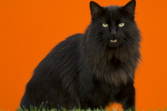 Black Norwegian Forest Cat in Cat