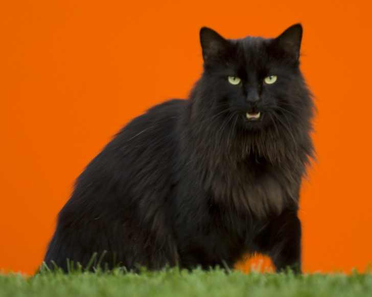 Cat , 7 Stunning Norwegian Forest Cat Pictures : Black Norwegian Forest Cat
