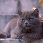 Black Persian cat , 5 Lovely Persian Cats Pictures In Cat Category