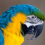 Blue And Gold Macaw , 8 Good Blue And Gold Macaws In Birds Category