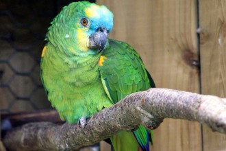 Blue Fronted Amazon Parrot in Dog