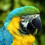 Blue Gold Macaw , 8 Beautiful Blue And Gold Macaw Facts In Birds Category