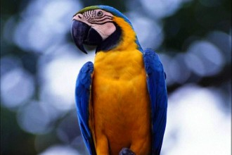 Blue Gold Macaw Wallpaper , 8 Good Blue And Gold Macaws In Birds Category