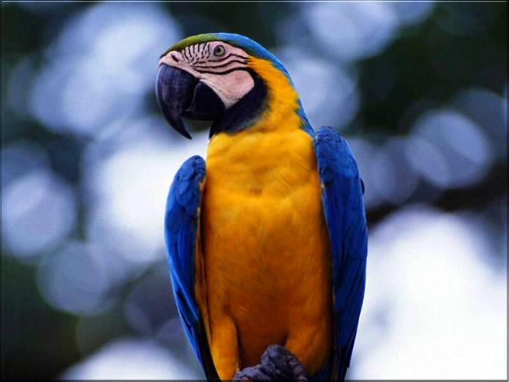 Blue gold macaw wallpaper 8 good blue and gold macaws for Gold bird wallpaper