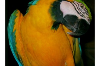 Blue & Gold McCaw , 7 Top Mccaw Parrot In Birds Category