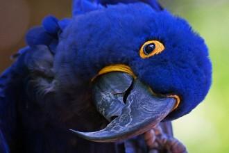Blue Hyacinth Macaw , 8 Wonderful Blue Hyacinth Macaw In Birds Category