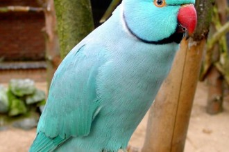 Blue Indian Ringneck Parakeet , 8 Nice Indian Ringneck Parrot In Birds Category