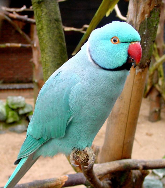 Birds , 8 Nice Indian Ringneck Parrot : Blue Indian Ringneck Parakeet