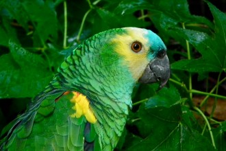 Blue Parrot , 8 Nice Blue Fronted Amazon Parrot In Birds Category