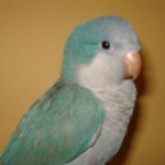 Blue Quaker Parrot , 7 Unique Quaker Parrot Talking In Birds Category