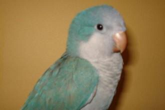 Blue Quaker Parrot , 7 Unique Quaker Parrot Talking In Birds Category