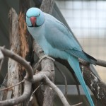 Blue Ringneck Parrot , 8 Nice Ringneck Parrot In Birds Category