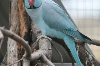 Blue Ringneck Parrot , 8 Nice Ringneck Parrot In Birds Category