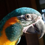 Blue Throated , 7 Awesome Blue Throated Macaw In Birds Category