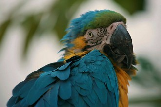 Blue Throated Macaw Parrot , 7 Awesome Blue Throated Macaw In Birds Category