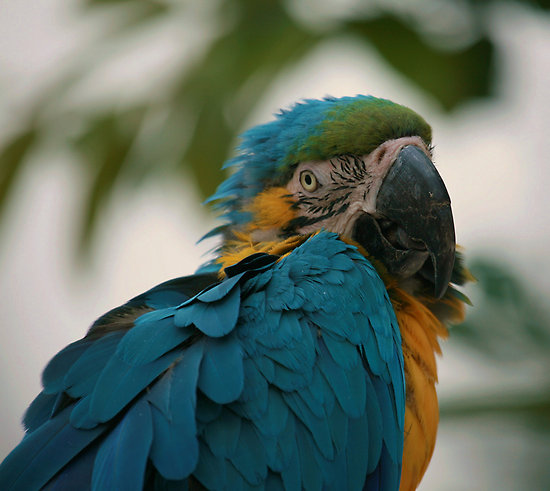 Birds , 7 Awesome Blue Throated Macaw : Blue Throated Macaw Parrot
