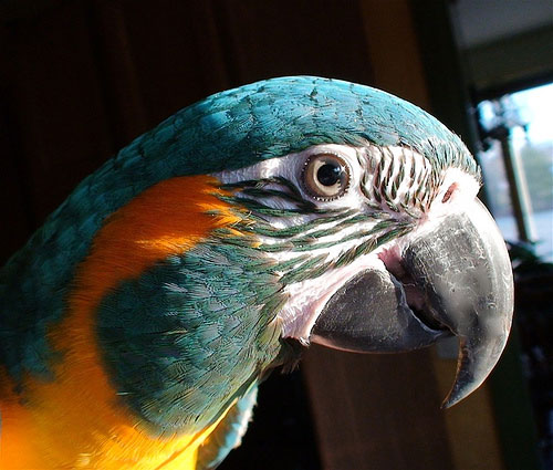 Birds , 7 Awesome Blue Throated Macaw : Blue Throated