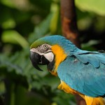 Blue and Gold Macaw , 8 Beautiful Blue And Gold Macaw Facts In Birds Category