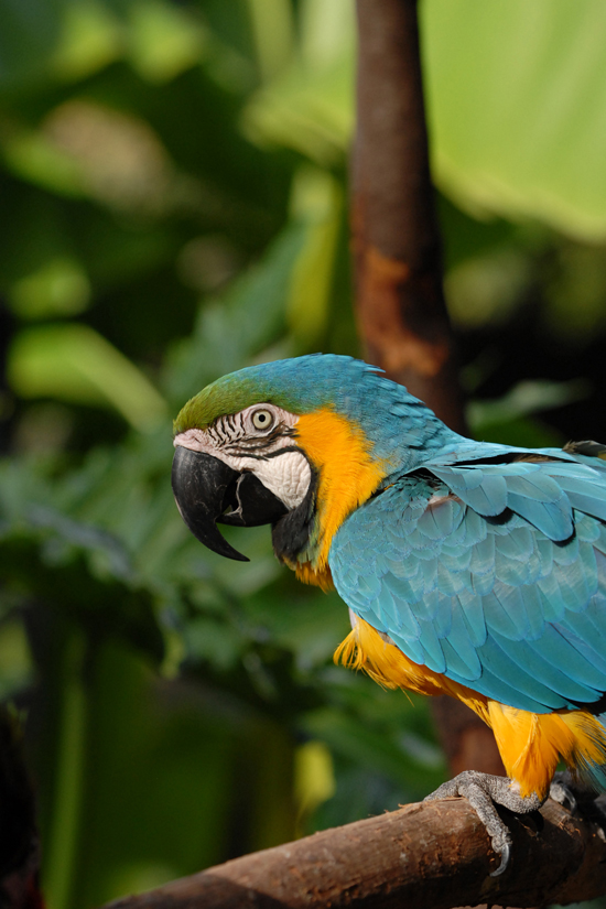 Birds , 8 Beautiful Blue And Gold Macaw Facts : Blue And Gold Macaw