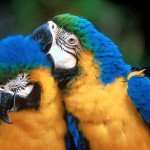 Blue and Gold Macaws , 8 Beautiful Blue And Gold Macaw Facts In Birds Category