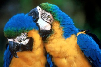Blue and Gold Macaws in Dog