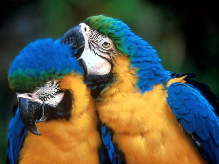 Birds , 8 Beautiful Blue And Gold Macaw Facts : Blue And Gold Macaws