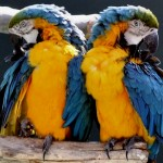 Blue and Gold Macaws , 7 Charming Blue Macaw Facts In Birds Category