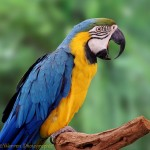 Blue and Yellow Macaw , 6 Facts About Macaws In Birds Category
