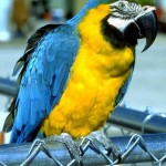 Blue and yellow macaw , 8 Beautiful Blue And Gold Macaw Facts In Birds Category