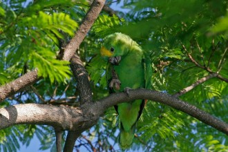 Blue fronted Amazon in Dog