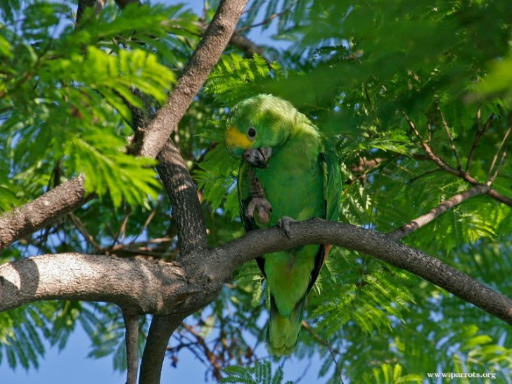 Birds , 8 Nice Blue Fronted Amazon Parrot : Blue Fronted Amazon