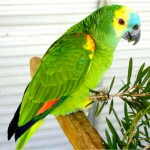 Blue fronted Amazon , 8 Nice Blue Fronted Amazon Parrot In Birds Category