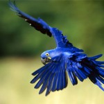 Blue macaw , 7 Good Macaw Lifespan In Birds Category