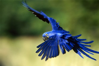Blue macaw in Amphibia