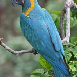 Blue throated Macaw , 7 Awesome Blue Throated Macaw In Birds Category
