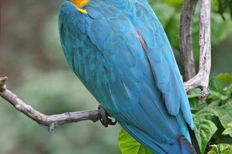 Blue throated Macaw in Dog