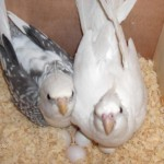 Breeding , 7 Cute Breeding Cockatiels In Birds Category