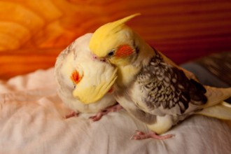 Breeding Cockatiels , 7 Cute Breeding Cockatiels In Birds Category
