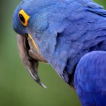 Brilliant blue , 8 Wonderful Blue Hyacinth Macaw In Birds Category