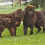 Brown Newfoundland dog , 7  Lovely Pictures Of Newfoundland Dogs In Dog Category