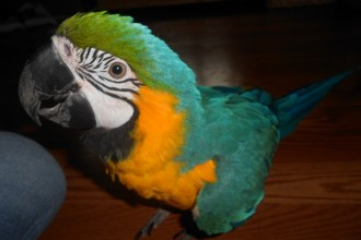 Cage Blue & Gold Macaw , 8 Beautiful Blue And Gold Macaw Facts In Birds Category