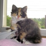 Calico Cat , 7 Gorgeous Pictures Of Calico Cats In Cat Category