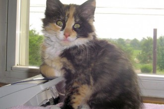 Calico Cat in Cat