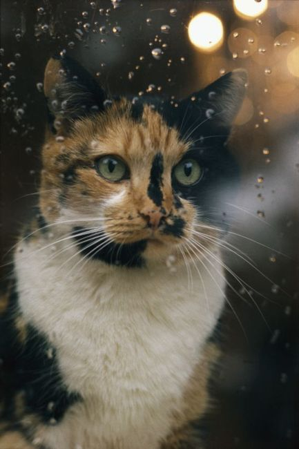 Cat , 7 Awesome Calico Cat Pictures : Calico Cat Art