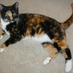 Calico Cat Breeds , 7 Gorgeous Pictures Of Calico Cats In Cat Category