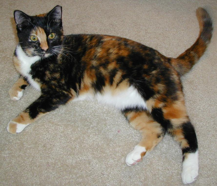 Calico Cat Breeds : 7 Gorgeous Pictures Of Calico Cats | Biological ...