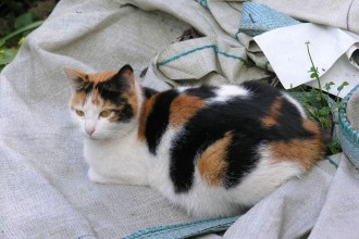 Calico Cat Facts , 7 Gorgeous Calico Cats Pictures In Cat Category