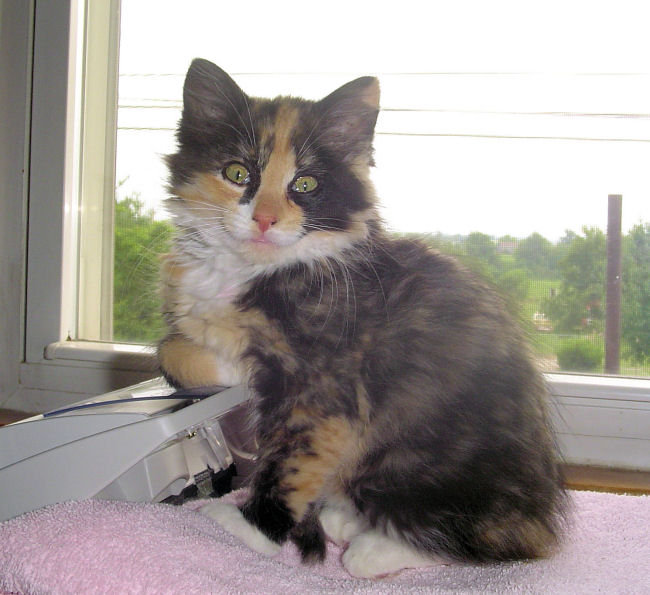 Cat , 7 Gorgeous Pictures Of Calico Cats : Calico Cat