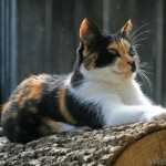 Calico Cat , 7 Gorgeous Calico Cats Pictures In Cat Category