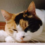 Calico Cats , 7 Awesome Calico Cat Pictures In Cat Category